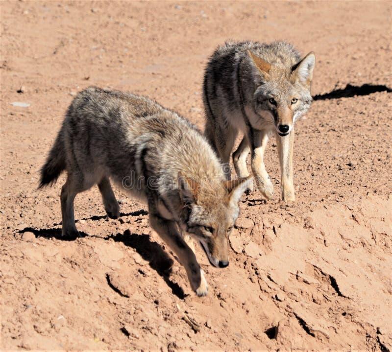 kojoty dwa zdjęcie stock