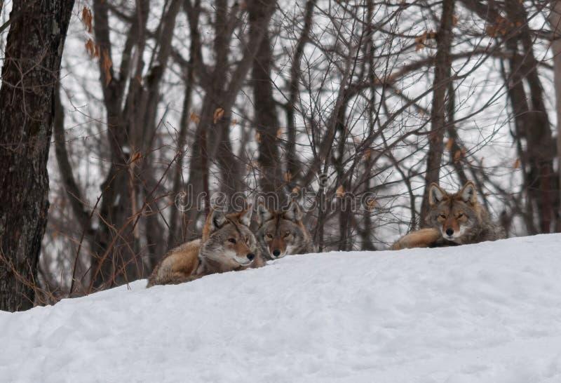 Kojoty relaksuje w śniegu zdjęcia stock