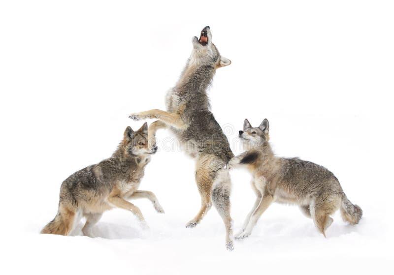 Kojoty tanczy w śniegu zdjęcia stock