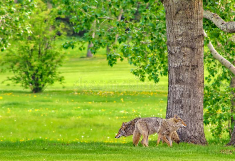 Kojoty W parku fotografia stock
