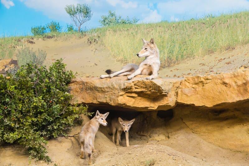Kojoty w polu fotografia stock