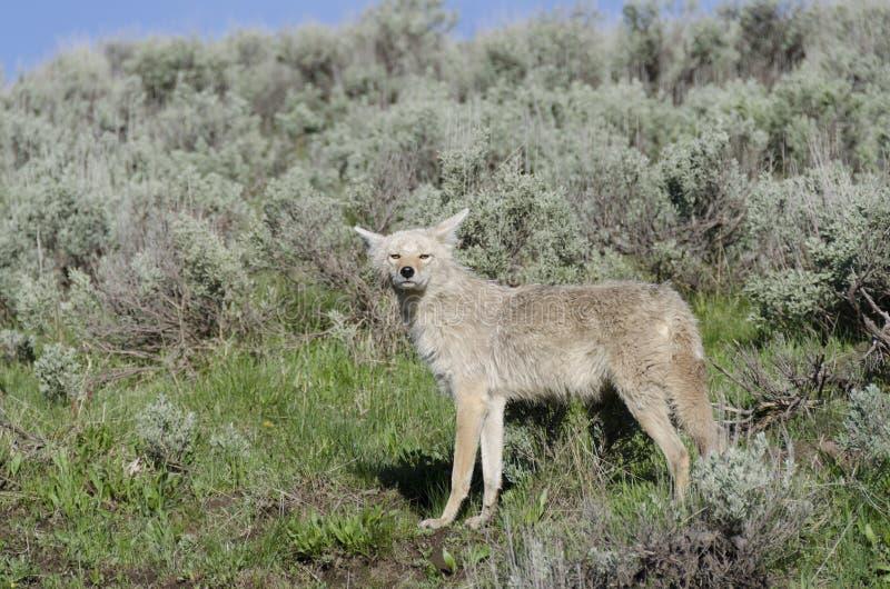Kojoty w Yellowstone zdjęcia royalty free