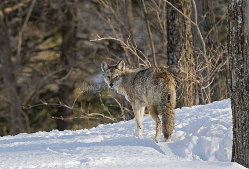 Kojoty w zima śniegu obrazy stock