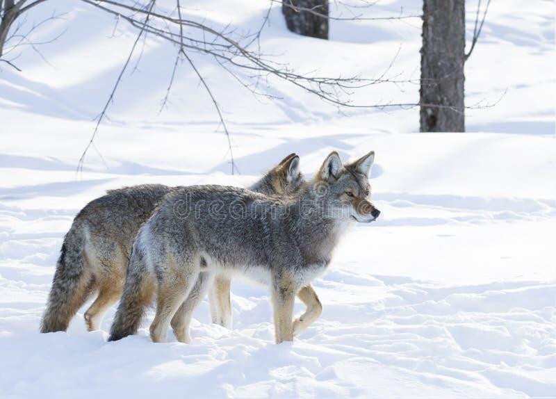 Kojoty w zima śniegu obraz stock