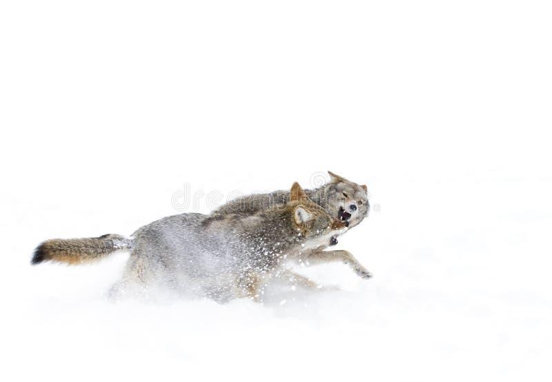 Kojoty walczy w śniegu fotografia royalty free