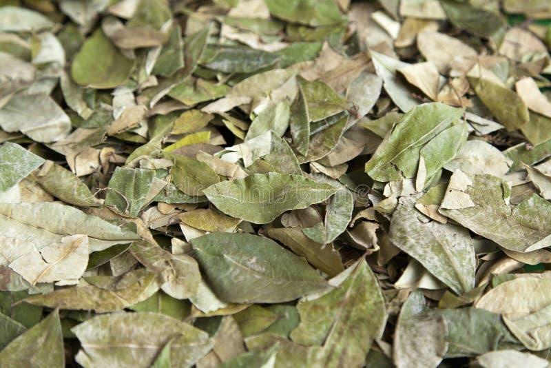 Koka-Blätter lizenzfreies stockfoto