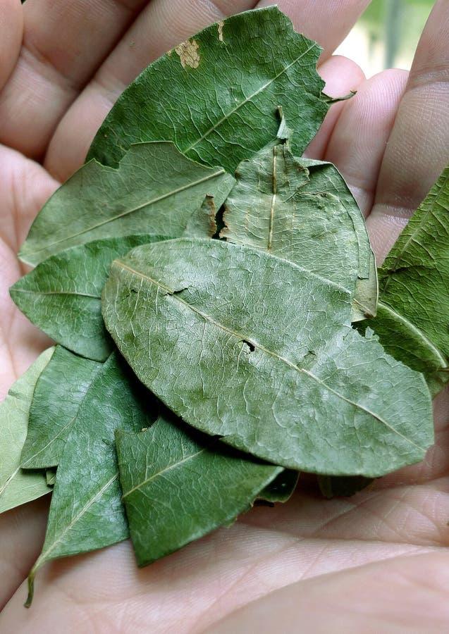 Koka liście zdjęcia stock