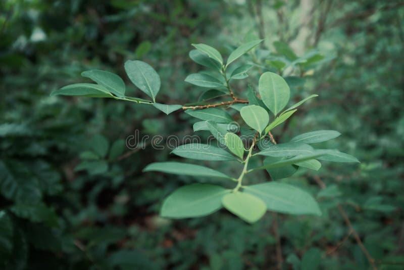 Kokaanlage mit grünen Blättern bei einem des Landwirthausgartens stockbilder