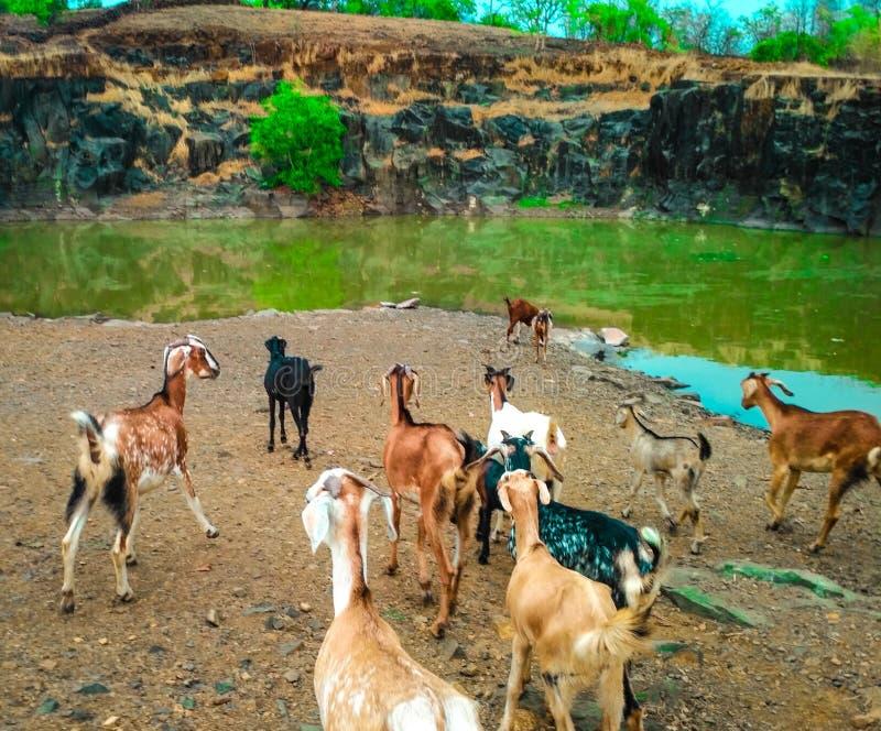 Kokan山羊水的村庄生活 免版税库存照片