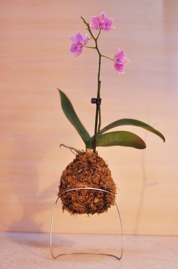 Kokedama-Moosball mit rosa Orchidee Phalaenopsis lizenzfreie stockbilder