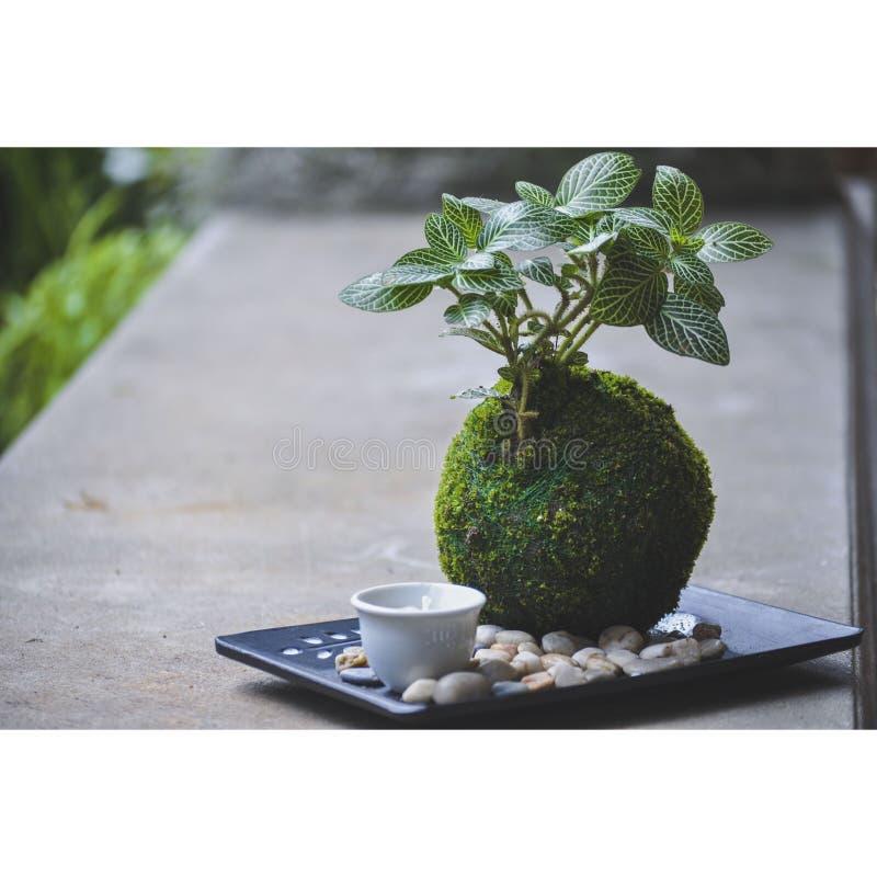 Kokedama roślina z mini terrerium obraz stock
