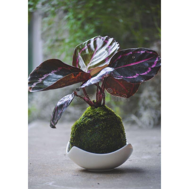 Kokedama roślina z purpurowymi liśćmi zdjęcia royalty free