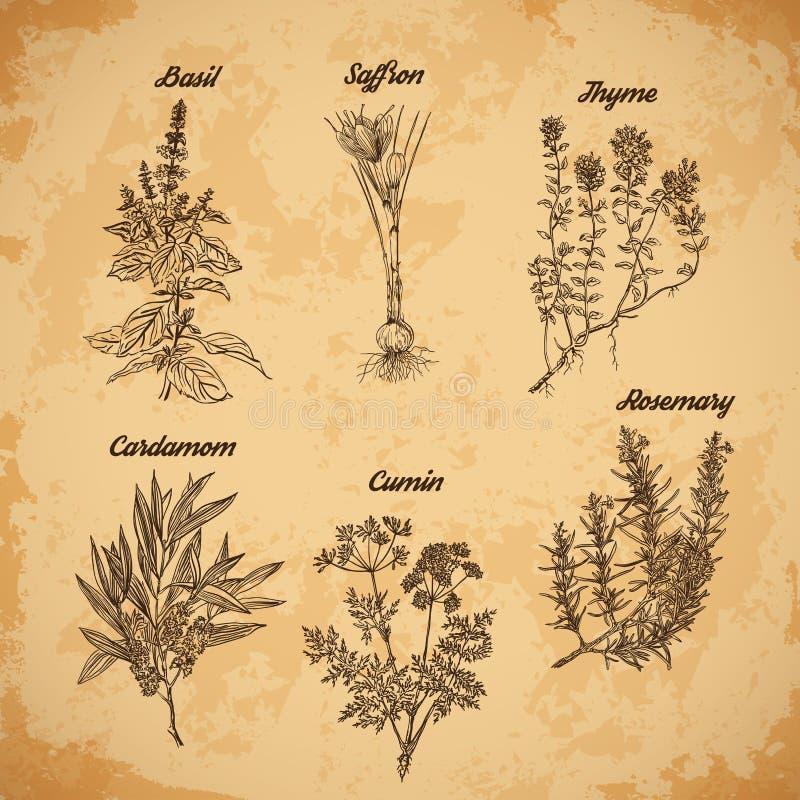 Kokende kruiden en kruiden Rosemary, thyme, kardemom, saffraan, basilicum, komijn Retro hand getrokken vectorillustratie stock illustratie