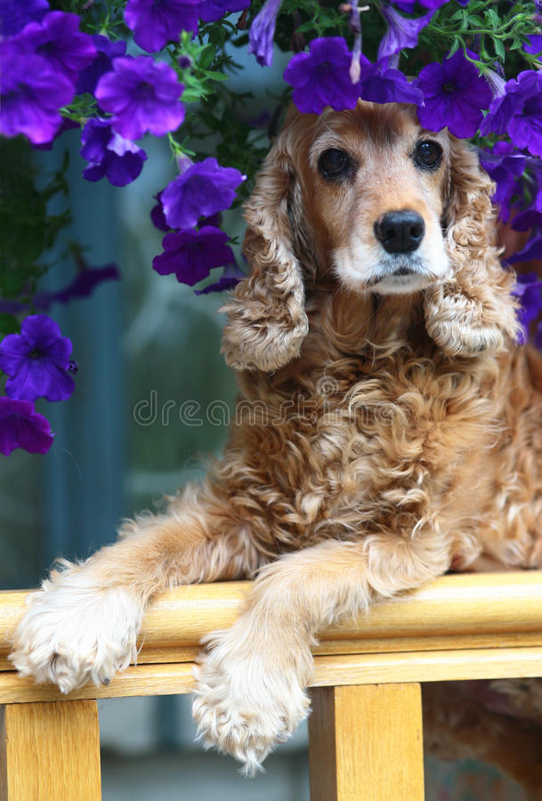 Kokker-Spaniel in den Blumen. stockfotos