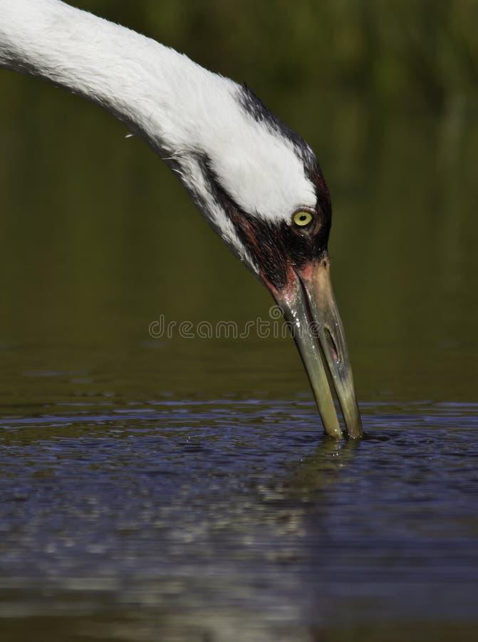 Kokluszowy żuraw (grus americana) zdjęcie stock