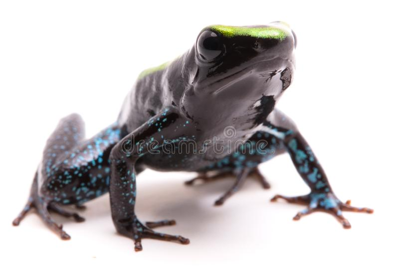 Kokoe poison dart frog Phyllobates aurotaenia. Kokoe poison dart frog, Phyllobates aurotaenia. A very poisonous and dangerous animal from the tropical Amazon stock images
