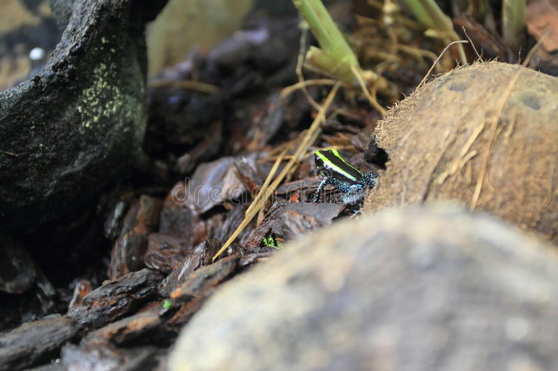 Kokoe poison frog. On the soil stock image