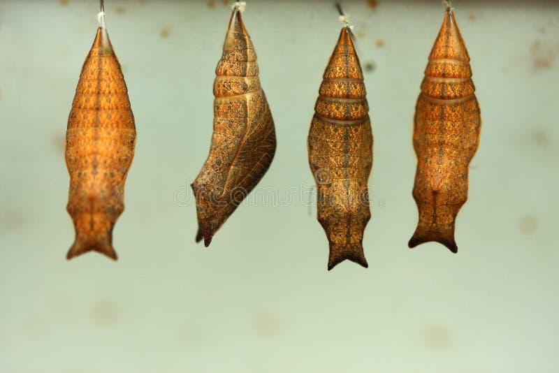 Kokon stockfoto bild von chrysalis insekte for Kokon kokon