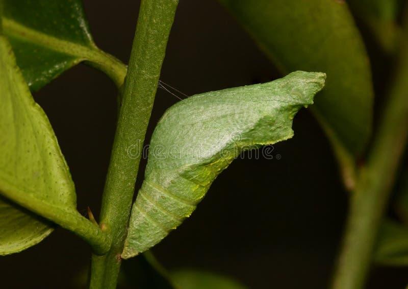 Kokon lub chryzalida pospolity wapno motyl, papilio demoleus obraz stock