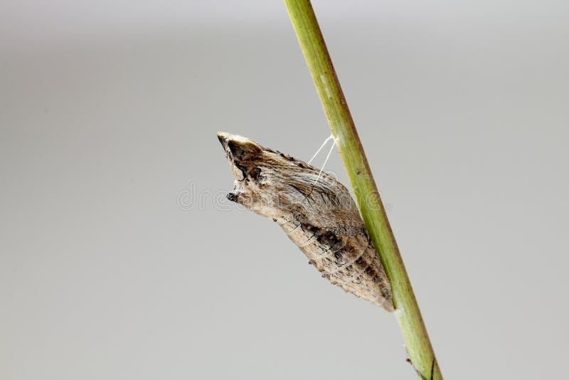 kokonu czarny swallowtail zdjęcie royalty free