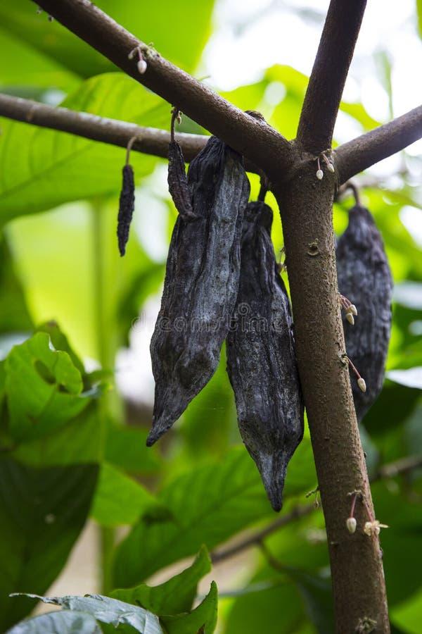 Kokosboom met fruit stock foto