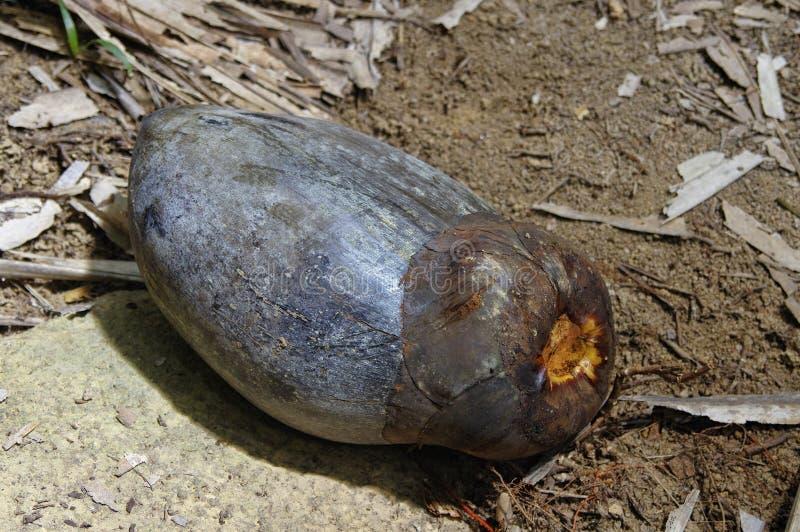 Kokosnöt eller Coco de Bara royaltyfri fotografi