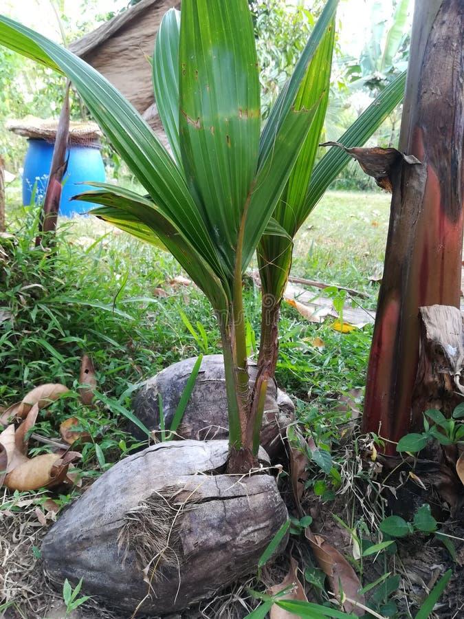 Kokosnöt i Sri Lanka royaltyfri foto