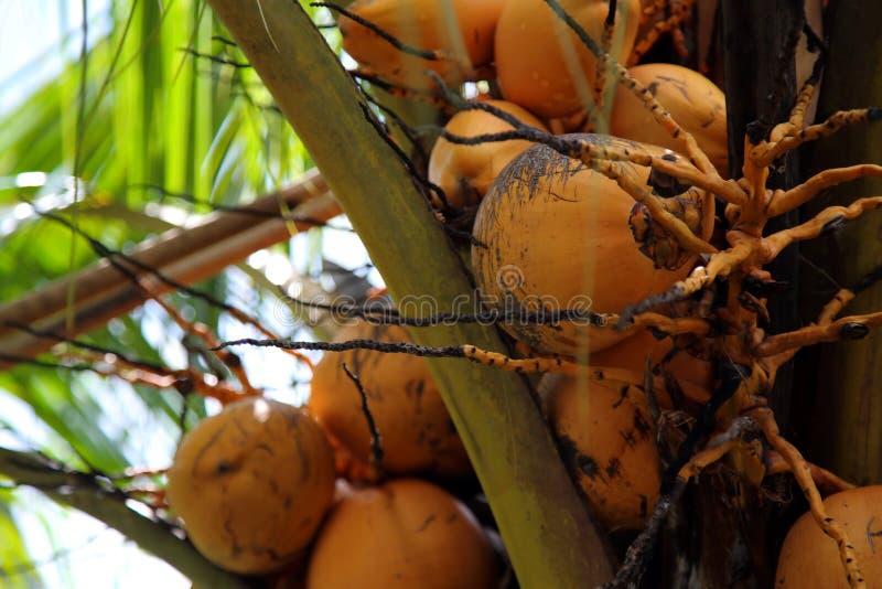 Kokosnöt i trädet royaltyfri foto