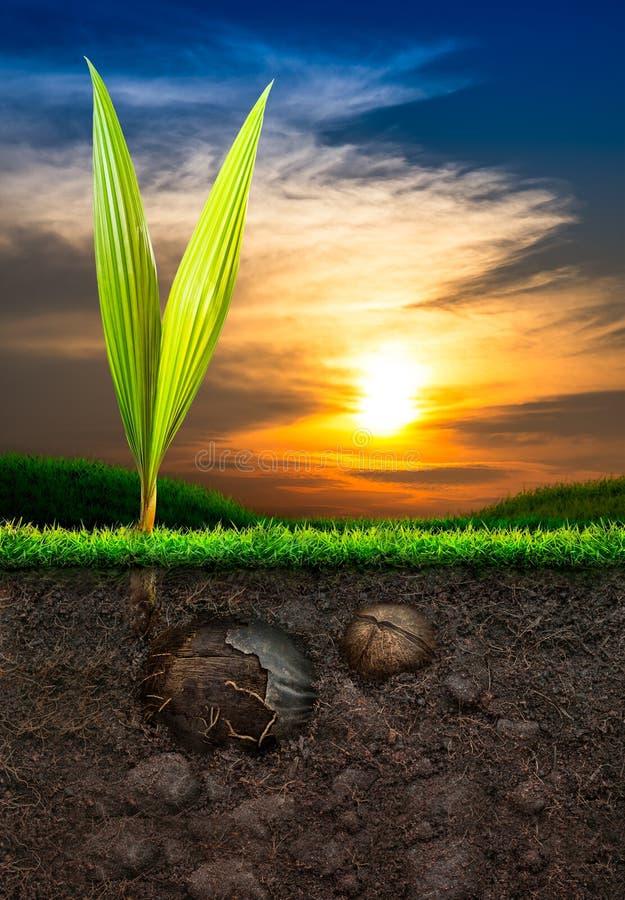 Kokosnöt och jord med gräs i solnedgångbakgrund royaltyfri fotografi