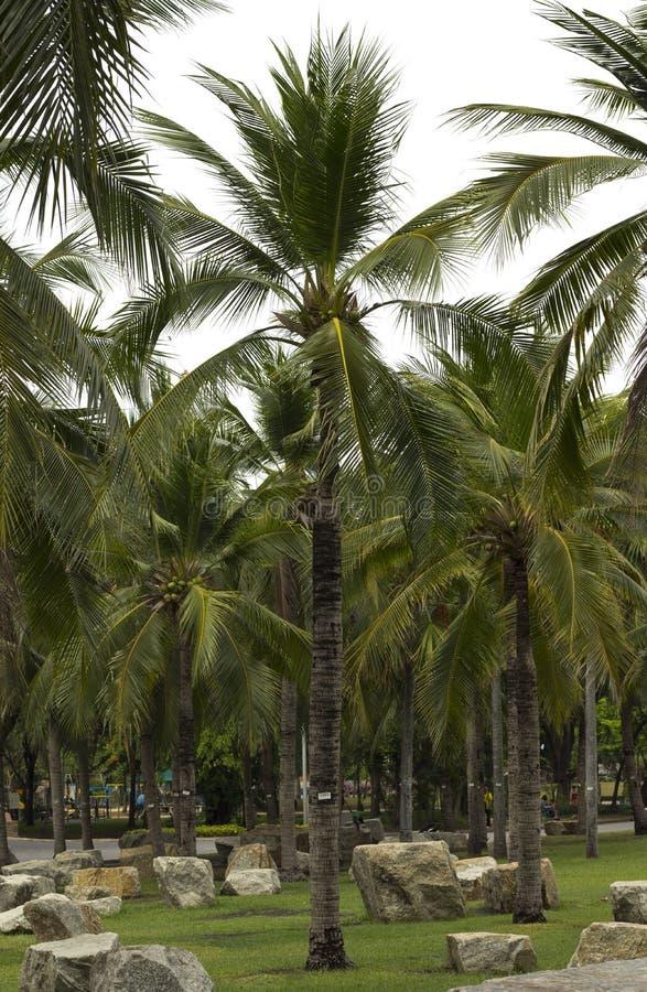 Kokosnötdunge arkivfoto