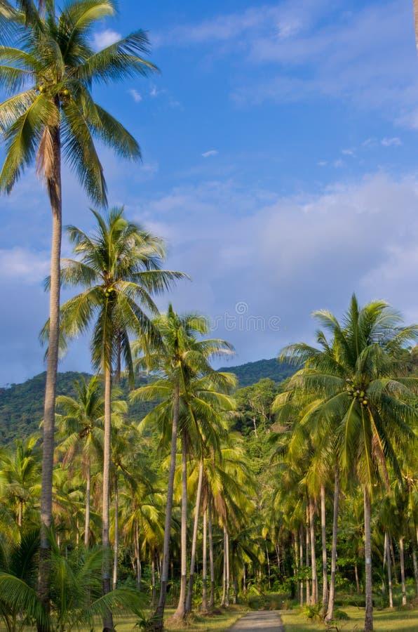 kokosnötdungen gömma i handflatan royaltyfria foton