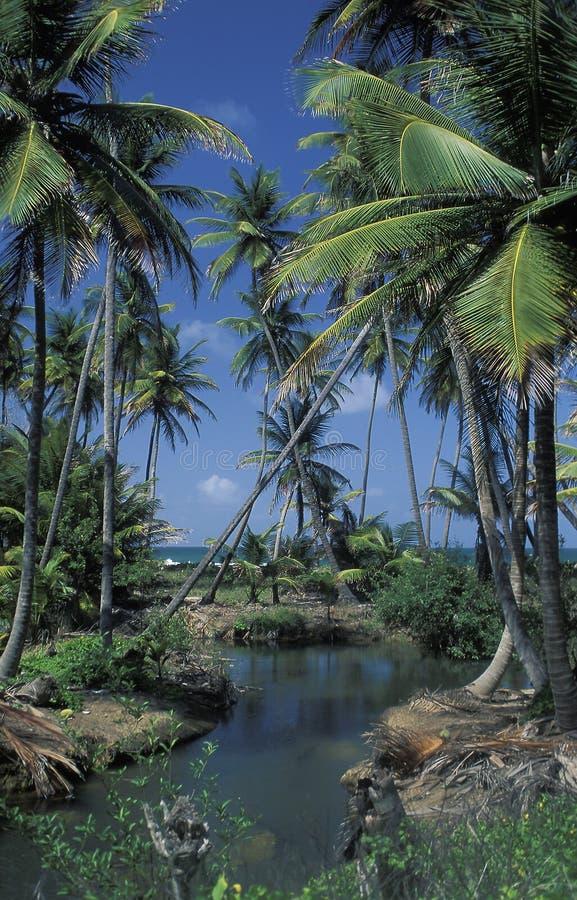Kokosnöten gömma i handflatan i Trinidad royaltyfri bild