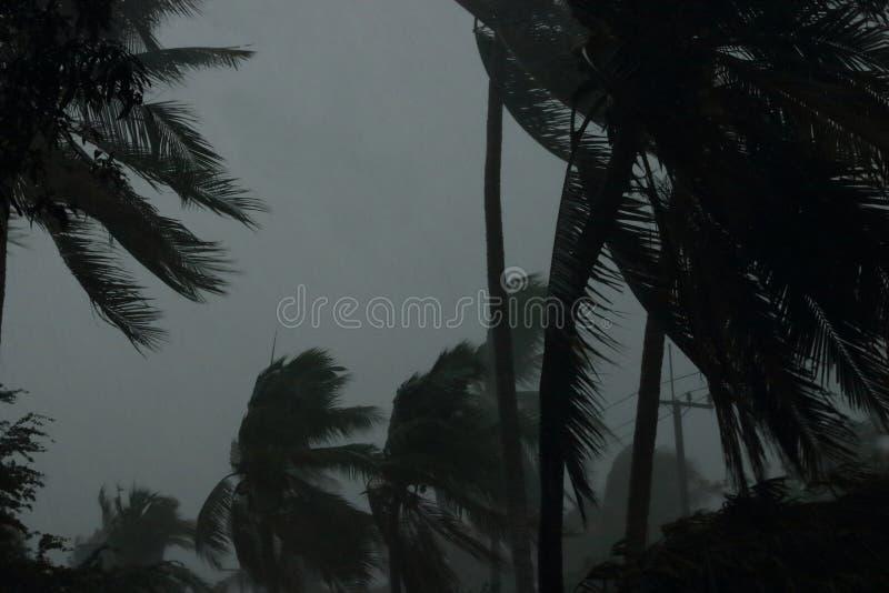 Kokosnöten gömma i handflatan trädet under tung vind eller orkan regnig dag royaltyfri bild