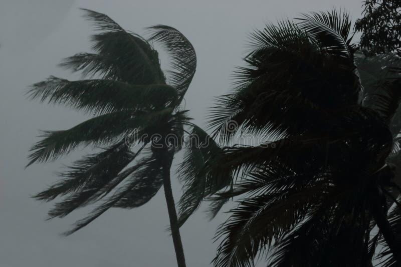 Kokosnöten gömma i handflatan trädet under tung vind eller orkan regnig dag arkivbild