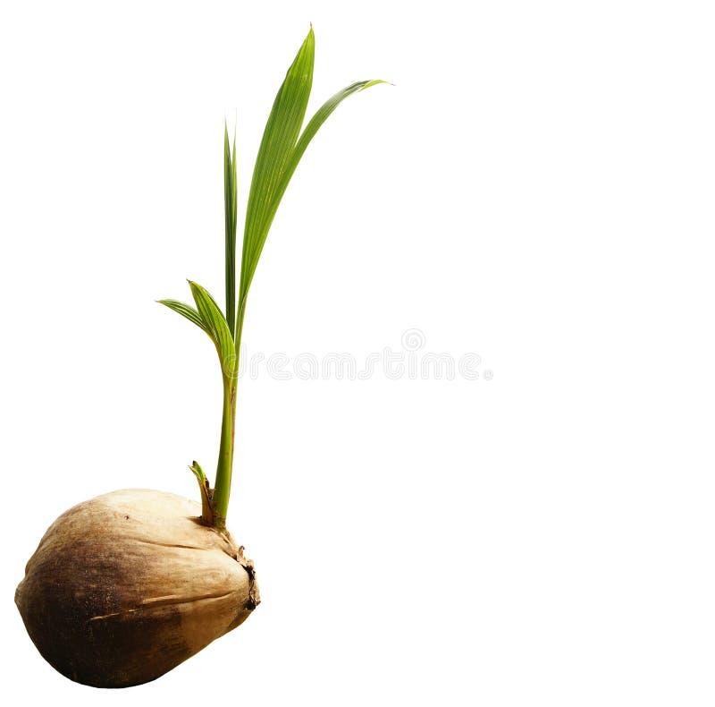 Kokosnötforsplantor växer grodden på vit bakgrund royaltyfri bild