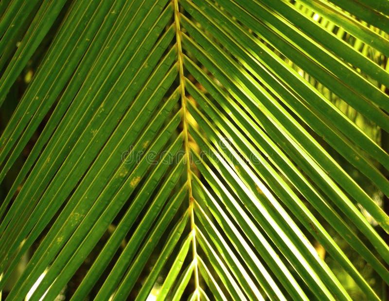 Download Kokosnötleaves arkivfoto. Bild av oklarheter, kokosnöt - 522732
