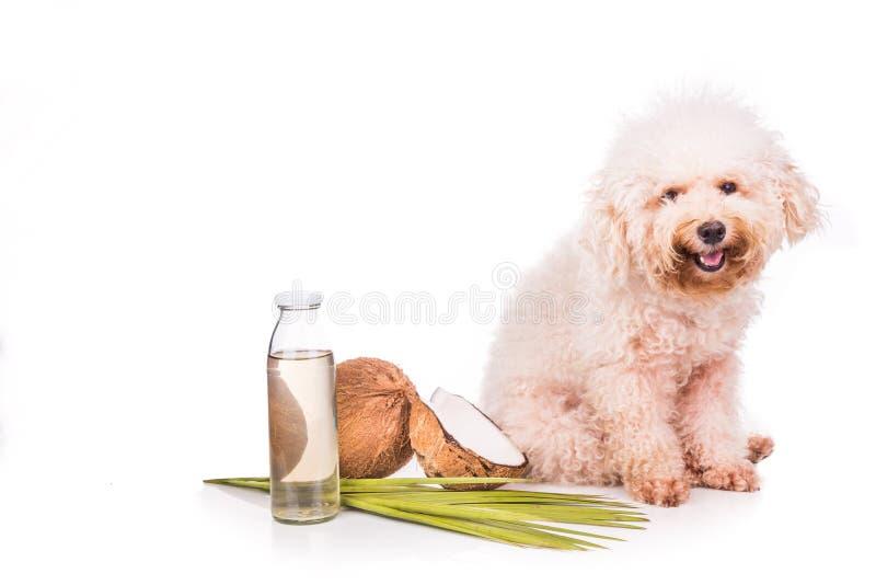 Kokosnötolja och naturliga fästingloppor för fetter som är frånstötande för husdjur royaltyfria foton