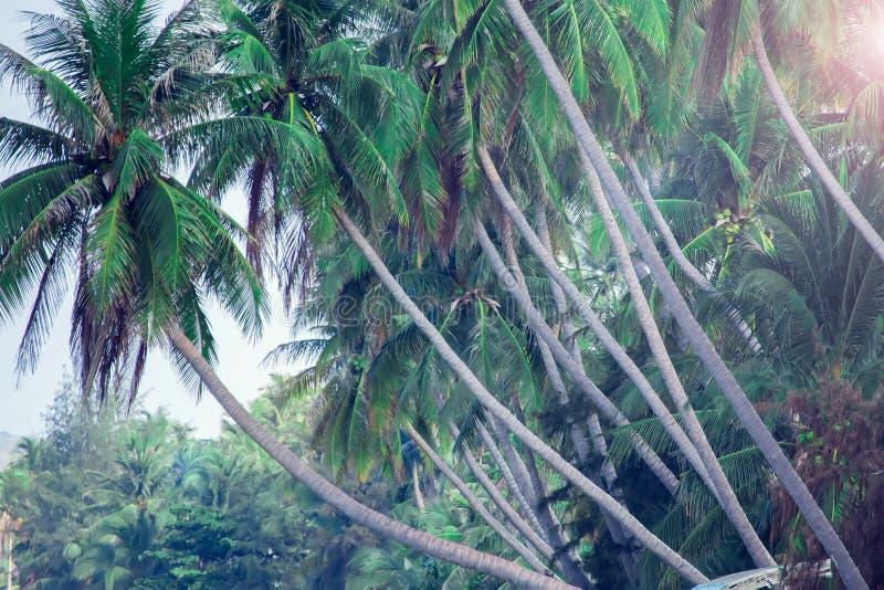 Kokosnötpalmträd, härlig tropisk bakgrund, tappningfilte fotografering för bildbyråer