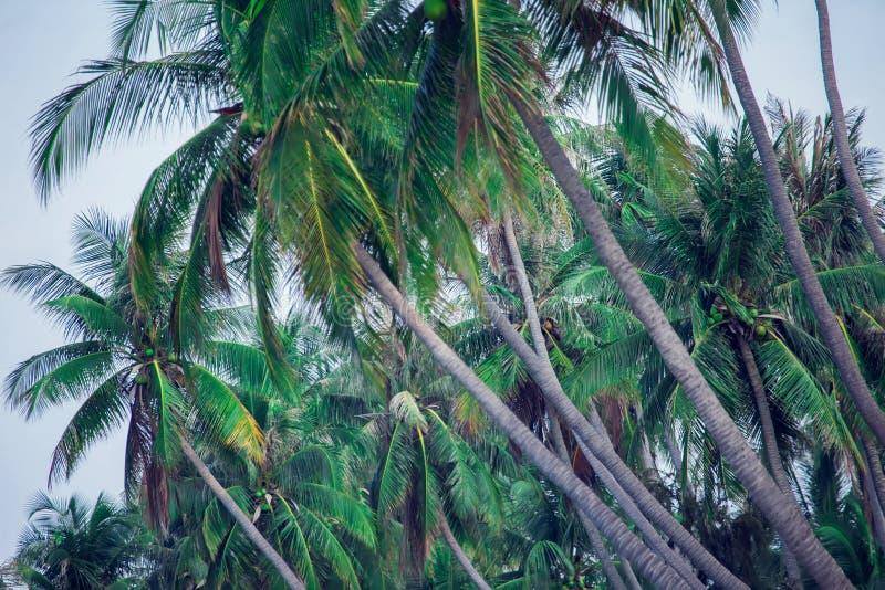 Kokosnötpalmträd, härlig tropisk bakgrund, tappningfilte arkivfoton