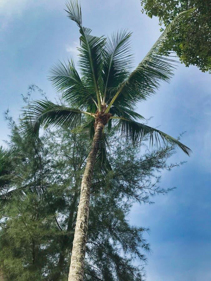 Kokosnötpalmträd i Thailand arkivbild