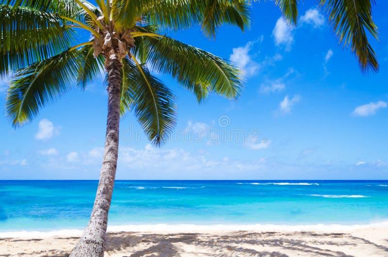 Kokosnötpalmträd på den sandiga stranden i Hawaii arkivfoto