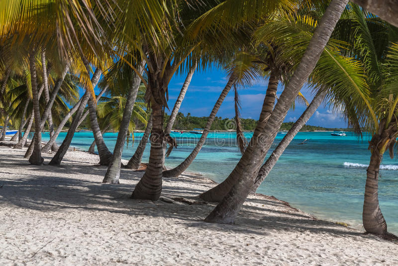 Kokosnötpalmträd på den tropiska ön Saona, Dominikanska republiken royaltyfri bild