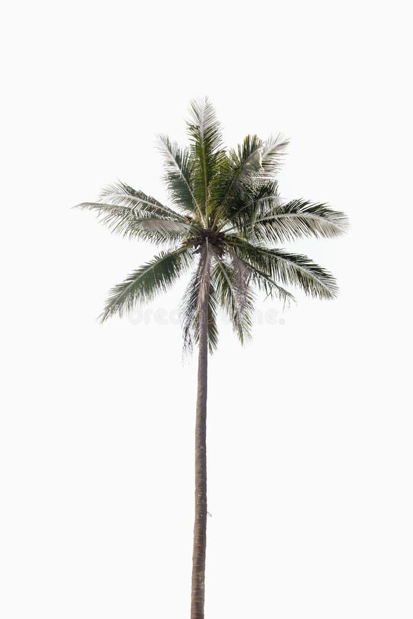 Kokosnötpalmträd på isolerad vit bakgrund royaltyfri bild