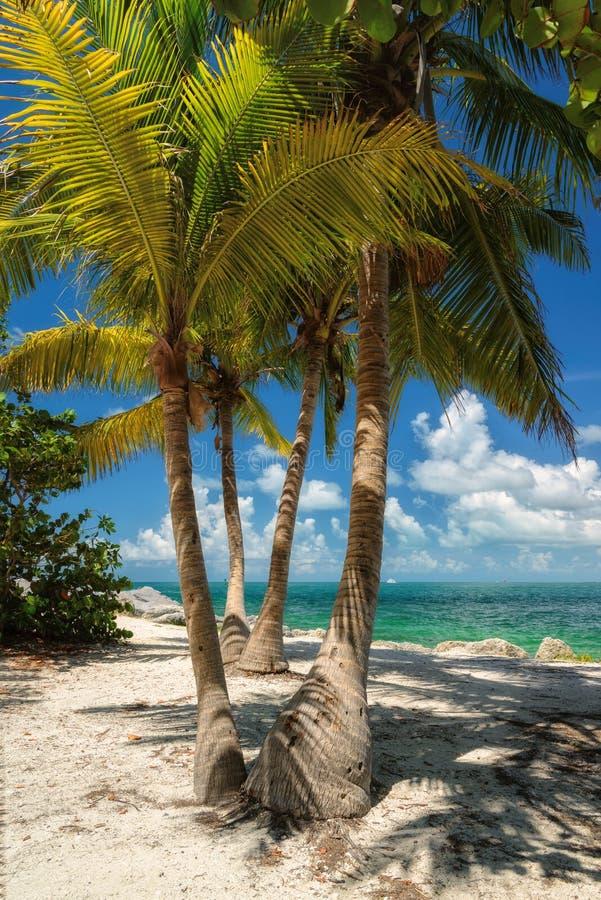 Kokosnötpalmträd på stranden Florida arkivbild