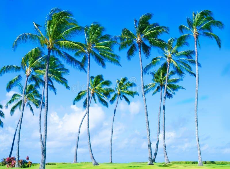 Kokosnötpalmträd på stranden i Hawai arkivbilder