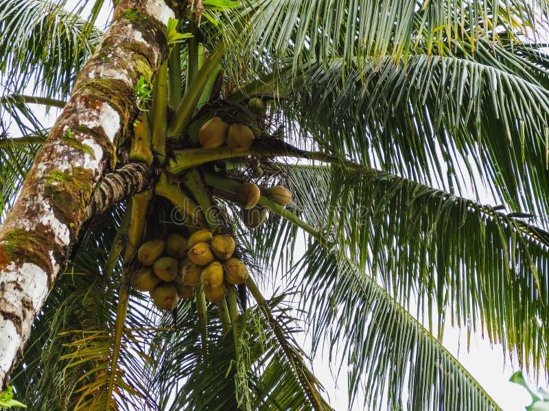 Kokosnötpalmträd som växer på kusten av Panama royaltyfri bild
