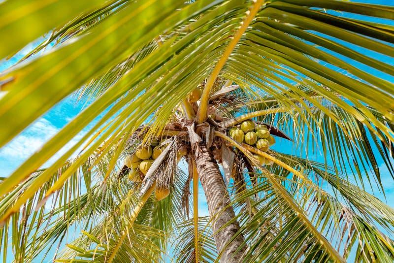Kokosnötpalmträdslut upp lös vinkel fotografering för bildbyråer