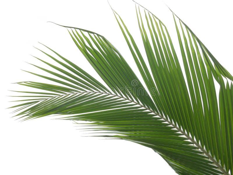 kokosnötsidor som isoleras på vit bakgrund, urklippbana royaltyfri fotografi