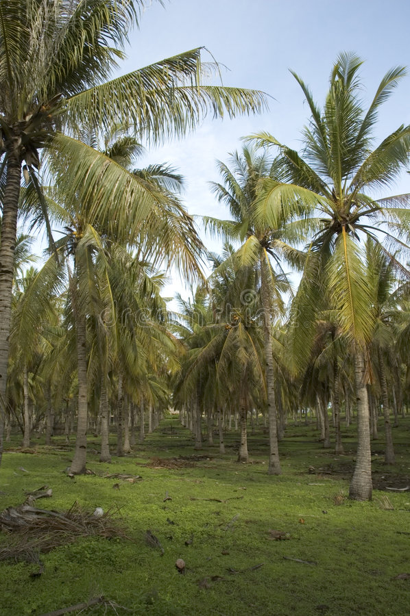 Download Kokosnötskogen Gömma I Handflatan Fotografering för Bildbyråer - Bild av karibiskt, ensamt: 510703