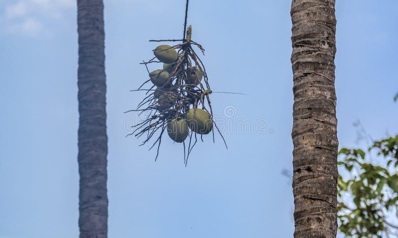 Kokosnötter som ner kommas med från ett träd royaltyfri fotografi